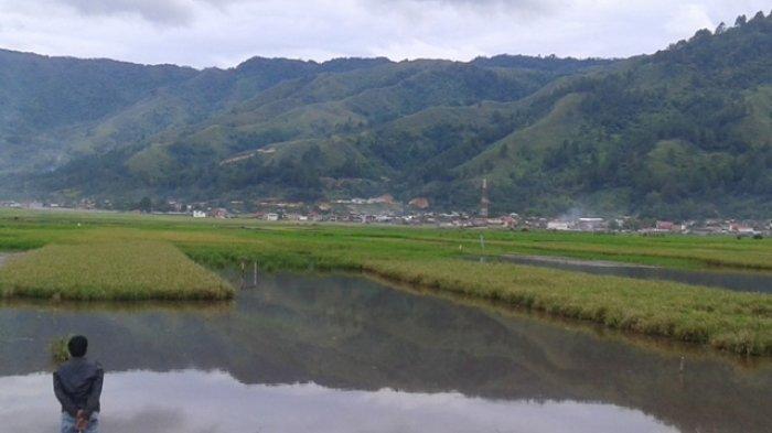 87 Hektare Sawah di Sungaipenuh Gagal Panen