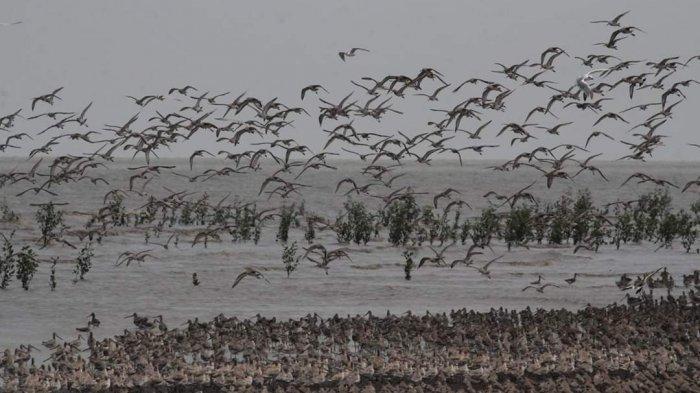 Ribuan ekor burung migran dari belahan dunia berkumpul di kawasan Pantai Cemara, Desa Sungai Cemara, Kecamatan Sadu, Kabupaten Tanjab Timur, Jambi, Selasa (10/12/2019)
