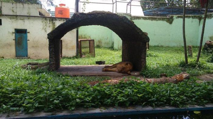 VIDEO: Kondisi Terbaru Harimau dan Singa Bunbin Taman Rimba Jambi, Dibuatkan Tempat Tidur Dari Papan