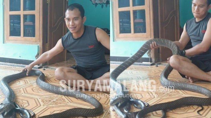 Bobot Ular King Kobra Miliknya Capai 13 Kg, Pria Ini 12 Tahun Hidup Sekamar dengan Hewan Berbisa Itu