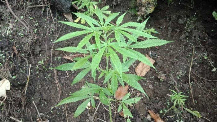 Tumbuhan diduga merupakan pohon ganja ditemukan di kawasan perladangan warga di Desa Telun Berasap, Kecamatan Gunung Tujuh, Kabupaten Kerinci, Provinsi Jambi.  Penemuan tumbuhan yang diduga pohon ganja ini ditemukan di ladang milik warga berinisial M (55) pada, Minggu (11/10/2020).