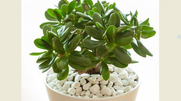Rekomendasi Tanaman Hias yang Mudah Dirawat di Dalam Ruangan, Ada Jade Plant dan Chinese Money Plant