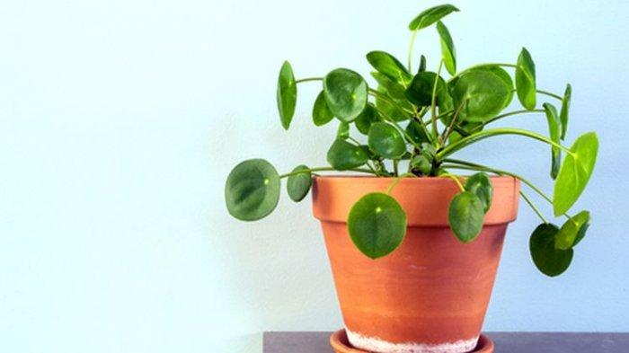 Tanaman hias Chinese Money Plant atau Pilea peperomioides.