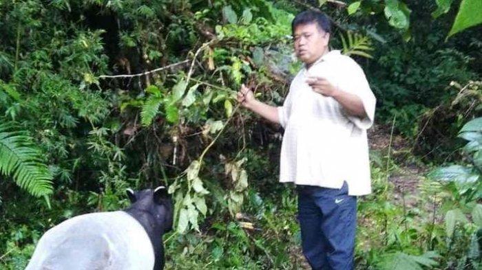 Tapir Liar Berkeliaran di Jalan Sungai Penuh-Tapan, Jadi Tontonan Warga Sekitar