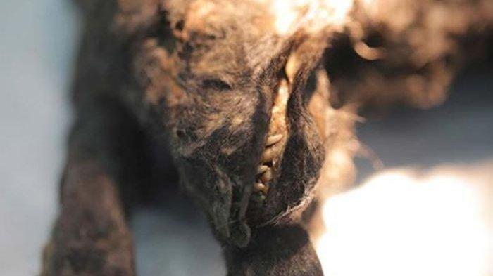 Bukan Main, Anak Anjing Ini Membeku 14.300 tahun dan Ilmuwan Tertarik Merangkai Masa Lalunya