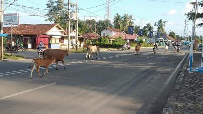 Warga Kembali Resah Banyak Sapi Berkeliaran Bebas di Tengah Jalan Tebo Tengah