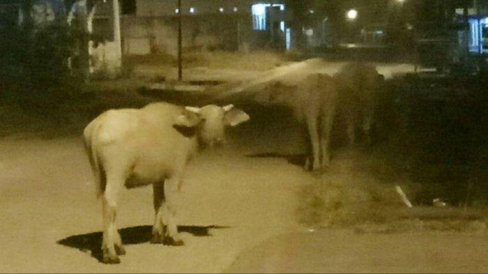 Siang Sudah Ditertibkan, Malam Hari Justru Ternak Berkeliaran di Area Umum Tebo Tengah