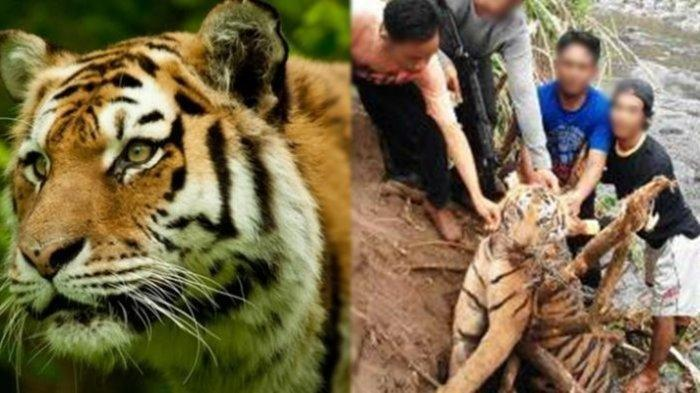 Detik-detik Evakuasi Jasad Korban Dimangsa Harimau, Ditemukan Membusuk, Sebelumnya Korban Lagi Sakit