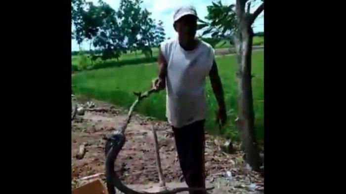 Warga Desa Bintaran Resah dan Takut, Ratusan Ular Kobra Muncul, 1 Warga Meninggal Dipatuk