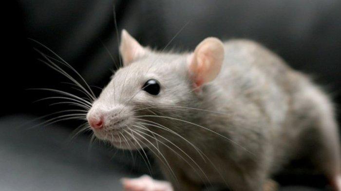 Cara Mengusir Tikus di Taman Rumah, Bisa Menggunakan Tanaman Catnip
