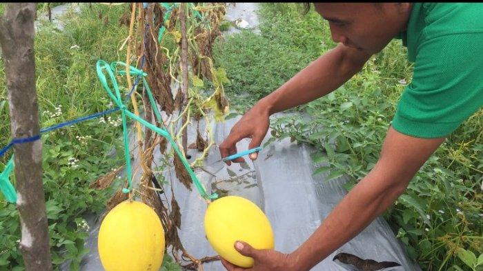 Mulai Tanam 2018, Kini Kebun Melon Jenis Golden Alissa di Batanghari Hasilkan Enam Ton Sekali Panen