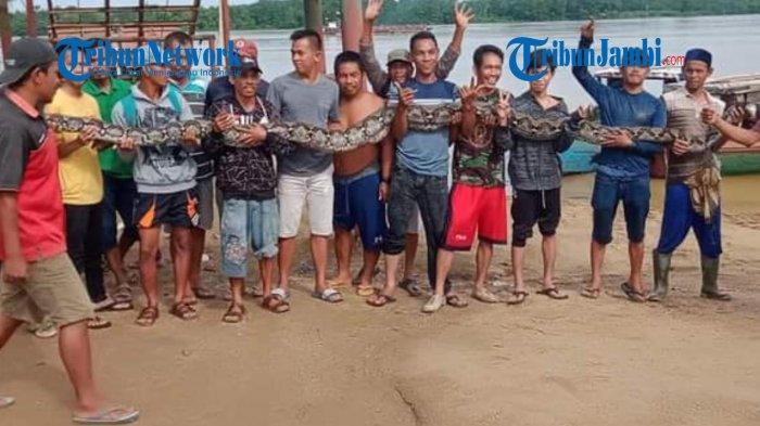Mangsa Dua Kambing Sekaligus, Ular Piton 7 Meter Diduga dari Seberang Sungai Batanghari
