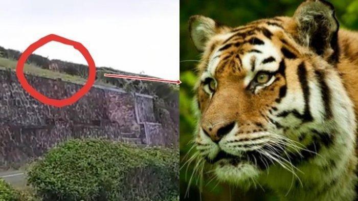 Isi Perut dan Tubuh Warga Pagaralam Habis Dimakan Harimau, Polisi dan TNI Ikut Jaga