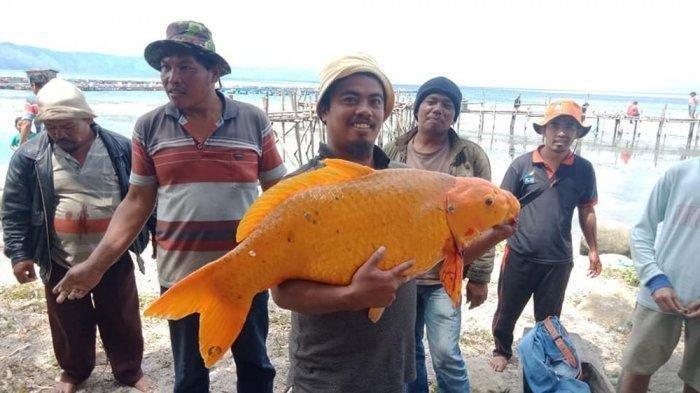 Foto Viral Penangkapan Ikan Mas Raksasa di Danau Toba, Warganet Protes dan Singgung Soal Bencana