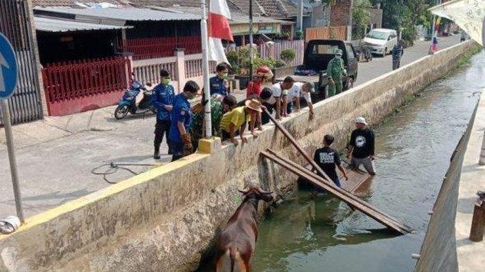 Sapi Ngamuk Masuk Kali, Masih Marah Besar di Dalam Air Sampai Akhirnya Dampak Turunkan 15 Personel