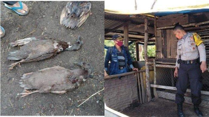 Terungkap Sosok Makhluk Penghisap Darah Hewan Ternak di Tapanuli Utara Bukan si Homang, Terekam CCTV
