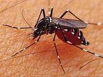 06122018_nyamuk-demam-berdarah.jpg