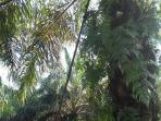 17082016-kelapa-sawit_20160817_124037.jpg