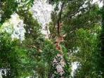 18102014_pohon_langka.jpg