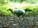 20171030_tapir_restorasi_hutan_20171030_192805.jpg