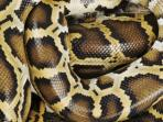 21012015_ular.jpg