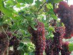 30042021-buah-anggur.jpg