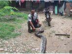311019_ular-piton.jpg