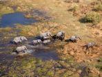ajah-gajah-di-okavango-delta-botswana.jpg