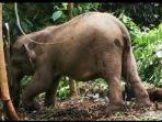 anak-gajah-bukit-30.jpg