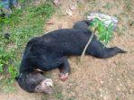 beruang-api-di-merangin-ditemukan-mati-di-area-perkebunan-warga.jpg
