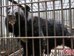 beruang-langka-yang-dipelihara_20180515_230228.jpg