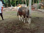 binatang-ternak-di-kabupaten-muarojambi-sapi.jpg