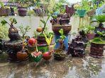 bonsai-kelapa-milik-reno76.jpg