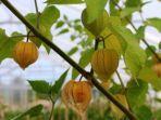 buah-ciplukan-atau-cape-gooseberry-ist.jpg