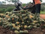 buah-nanas-petani-di-tangkit-baru-muarojambi-mengecil-tak-seperti-biasa-ini-penyebabnya.jpg