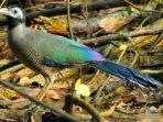 burung-tokhtor-sumatera-carpoccocyx-viridis.jpg