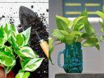 cara-membuat-tanaman-sirih-gading-tumbuh-subur.jpg