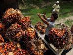 harga-tbs-kelapa-sawit-di-provinsi-jambi-terbaru.jpg