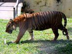 harimau-koleksi-taman-rimba-jambi.jpg