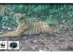 harimau-sumatera-berciuman_20150422_150554.jpg