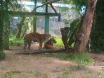 harimau-taman-rimba_20180120_154721.jpg