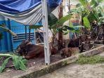 hewan-kurban-masjid-agung.jpg