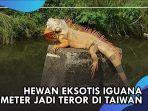 iguana-raksasa-taiwan.jpg