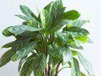 ilustrasi-tanaman-hias-aglonema-brilliantshutterstockdropstock.jpg