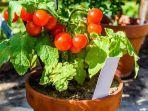 ilustrasi-tomat-ceri-yang-bisa-ditanam-dalam-pot.jpg