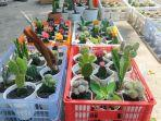 kaktus-impor-banyak-peminat-bwww.jpg