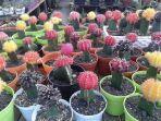 kaktus-mini.jpg