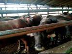 kandang-sapi-peternakan-sapi-di-muarojambi.jpg