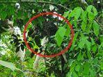 macan-tutul-di-pohon-karet.jpg