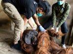 orangutan-diselamatkan-ya.jpg